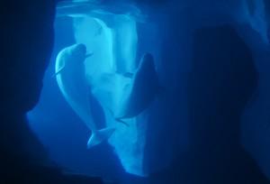 wild-arctic-belugas