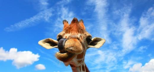 rubby-giraffe